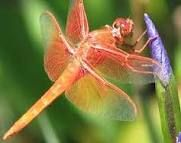 Coral dragonfly