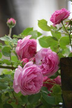 'Louise Odier' *1851* Margottin, (Bourbon Rose) Historische Rose, Wildrosenhybride