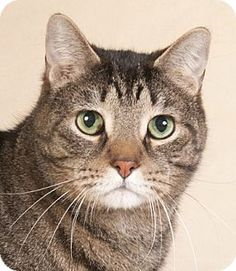 Chicago, IL - Domestic Shorthair. Meet Ted, a cat for adoption. http://www.adoptapet.com/pet/12690377-chicago-illinois-cat