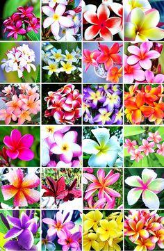 芳香のある美しい花とがっしりとした樹姿が見どころのプルメリア。初めて見る方はその姿に魅了されることも多いでしょう。しかし、実際に育ててみると「花が咲かない」「枯れてきたけれど対処法がわからない」といった悩みを持たれる方も多いのではないでしょうか。ここではプルメリアの美しい花を咲かせる3つのポイントから、枯れてしまった時の対処法、増やし方に至るまで幅広く紹介します。