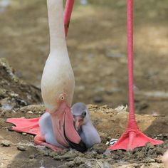 There's a new addition to the Greater Flamingo family at New Zealand's Auckland Zoo. The little chick hatched on January 9 in the Flamingo exhibit as an amazed group of zoo visitors looked on. Photo Credit: Auckland Zoo This is. Flamingo Wallpaper, Flamingo Art, Pink Flamingos, Newborn Animals, Baby Animals, Cute Animals, Animal Babies, Wild Animals Pictures, Animal Pictures