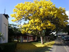 Golden Trumpet Tree — they bloom for about a week in the spring. They are all over my neighborhood right now. Beautiful! And I don't even like the color yellow that much. :D
