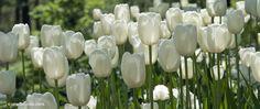 Image from http://www.thegracefulgardener.com/wp-content/flagallery/my-bulb-picks-for-2012/1620_maureen_cgc_dsc_0248.jpg.