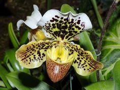 Paphiopedilum gerda 'Magnifica', by DansPhotoArt, via Flickr