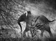 Perseguidos por caçadores furtivos na Zâmbia, os elefantes têm medo dos homens e dos veículos.  Zâmbia, África. 2010.