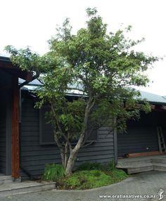 Ackama rosaefolia (Makamaka) - Good specimen tree for the small garden.