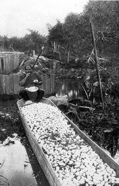 Alligator Joe, infamous Florida reptile poacher, perches on a vat of harvested alligator eggs. 1910.