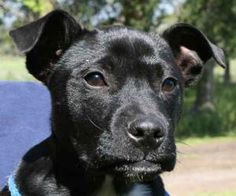 Colby is an adoptable Labrador Retriever Dog in Chipley, FL. Colby is a 3 month old male lab/bulldog cross, about 15 pounds. He is a very cooperative pup, unbelievably good on the leash for us today c...