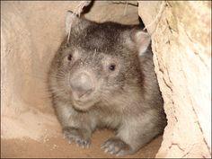 Northern Hairy-Nosed Wombat | Common Wombat (Vombatus ursinus) - We found three wombats on the ...