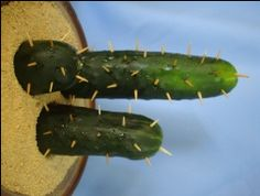 Cucumber Cactus... I'm not sure how I feel about this yet but cool I think lol.... and not sure why's it's sideways... awkward.
