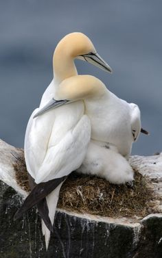Gannets in love. They are fiercely manogamous