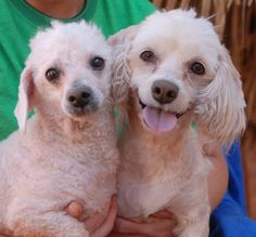 <3 Tammy & <3 Marvin!! Nevada Society for the Prevention of Cruelty to Animals, Inc. (Nevada SPCA) Las Vegas, NV  89118. Adorable pair, Poodles, girl & boy, spayed/neutered, 6 yrs. They are so strongly bonded that they need to remain together forever!  Tammy is more bashful, while Marvin is more outgoing. Good w/ other dogs!  Please plan & budget for regular professional grooming.
