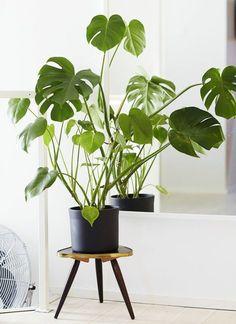 köstliches fensterblatt zimmerpflanzen pflegeleicht topfpflanzen