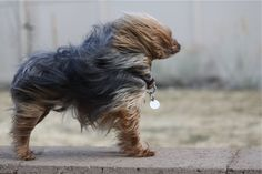 windy day for this yorkie Blowin' In The Wind, Wind In My Hair, Windy Day, Windy Weather, Pet Vet, Puppy Mills, Little Dogs, Yorkshire Terrier, Animal Photography