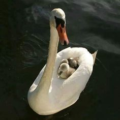 """Momma Swan Carrying Baby Swans"""