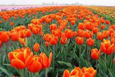 If the sight of daffodils and other spring flowers raises your spirits after the greys of winter, why not pop across to the Netherlands and see the tulip fields in all their myriad colours?