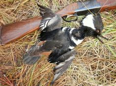 This hooded merganser decided to check out the decoys. Such gorgeous birds!