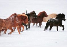 """2,903 gilla-markeringar, 26 kommentarer - Horses of Iceland (@horsesoficeland) på Instagram: """"Many of the beautiful colors of the Icelandic horse represented - which one is your favorite?…"""""""