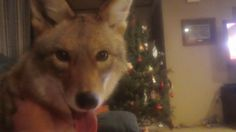 WIley the Coyote