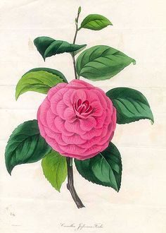 Ford's Japan Camellia  from Magazine of Botany by Paxton.
