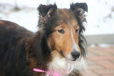 What a beautiful girl she is, she'll make some family a wonderful pet! Sally is an adoptable Shetland Sheepdog Sheltie Dog in Rochester Hills, MI. Here's Sally! She's such a sweetie, so gentle and kind. Fantastic with cats, dogs and children. Housebroken too! This little...