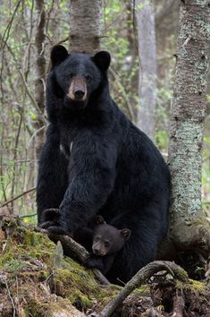 2017 Wildlife Photo Contest—check out the winners! Bear Pictures, Animal Pictures, American Black Bear, North American Animals, Baby Animals, Cute Animals, Black Bear Cub, Bear Paintings, Mother Bears