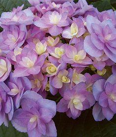 Hydrangea,