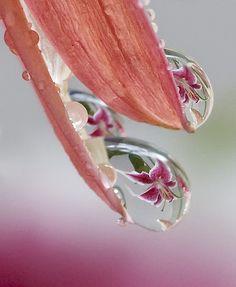 Macro lens, water droplet refractions.