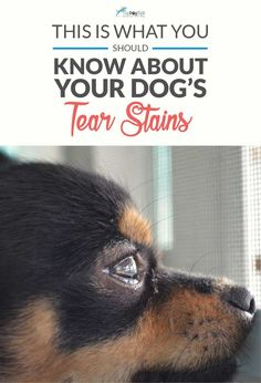 The Truth About Tear Stains on Dogs. There's no doubt that they aren't pleasant to look at, but did you know there are also some health concerns that you should be mindful of when it comes to tear stains on dogs? Pet Dogs, Dogs And Puppies, Pets, Doggies, Short Dog Quotes, Dog Tear Stains, Dog Separation Anxiety, Dog Grooming Tips, Aggressive Dog