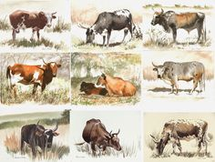 PAINTING AFRICAN NGUNI CATTLE