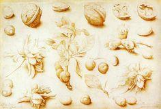 Free Walnuts and hazelnuts botanical illustration@wikimediacommons #illustration #botanical #print