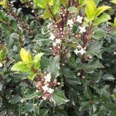 Blue Prince Holly | Naturehills.com Holly Plant, Online Plant Nursery, Privacy Trees, Green Fence, Specimen Trees, Invasive Plants, Foundation Planting, Evergreen Shrubs, Large Plants