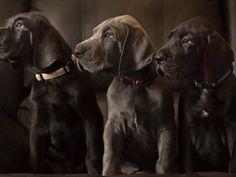 Le dogue allemand est une race de chien à poil court. Il est aussi appelé...