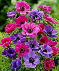 """Anemoni - """"Vento"""" è il significato del termine greco """"anemos"""": è per questo che gli anemoni sono comunemente chiamati anche """"fiori del vento"""": non si poteva trovare nome più azzeccato per un fiore così fragile, delicato e di breve durata. E' caratterizzato da vistosi fiori dai colori accesi e vivaci (come il rosso, il rosa, il blu, il bianco, il viola) a forma di margherita o di papavero che sbocciano dalla primavera all'autunno e da foglie verde chiaro che assomigliano a quelle del…"""