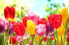 Get your spring on with a little lesson about tulips from a pro!