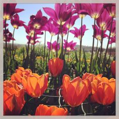 edible tulips - glorious colours and textures all available from greensofdevon.com
