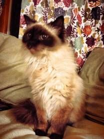 Daisy is a 6 yr old Ragdoll/Himilayan.  She is up to date on shots, spayed and FULLY clawed.  Daisy gets along with dogs, kids and other cats.  She's a very sweet cat and looking for her forever home.