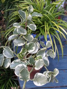 Peperomia-Small peperomias are available in many leaf shapes and colors, and are often used in pots or in terrarium collections. - See more at: http://www.hgtvgardens.com/houseplants/easy-indoor-tropical-plants#sthash.sQCWwex5.dpuf