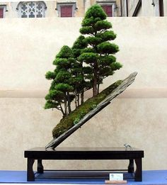 The ancient Japanese art of Bonsai creates a miniature version of a fully grown tree through careful potting, pruning and training. Even if you& not zen enough to labour over your own Bonsai,. Ikebana, Plantas Bonsai, Bonsai Plants, Bonsai Garden, Bonsai Forest, Juniper Bonsai, Bonsai Styles, Miniature Trees, Growing Tree