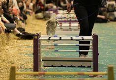 London Pet Show: A rabbit show jumping display