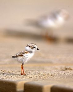 How can such a cute baby seagull grow up to make such annoying noises? Gotta love them though. <3