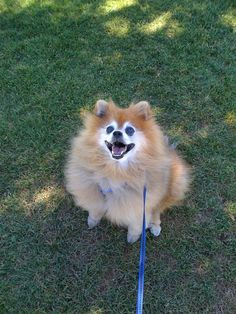 Pomeranian. Beautiful. Happy.