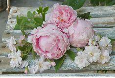 Early garden roses
