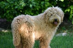 goldendoodle | Fergie ~ F1 Goldendoodle A adorable F1 Goldendoodle with a beautiful ...