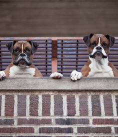 Aw, adorable boxer's, really cute, they make me smile - enjoy <3 - pinned by https://www.pinterest.com/sy214/all-creatures-great-small/