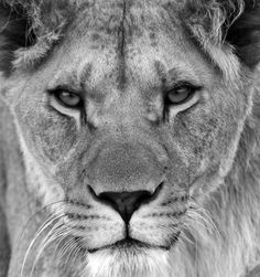 Lioness Head | Creative photo ideas for June: 04 Shoot animals in black and white