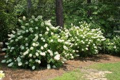 Bobo Hydrangea are a rather hardy plant, but the one bloom for approximately 6 weeks. These flower buds open exactly the same season which they're produced. Here are some inspiring ideas to make Bobo Hydrangea garden landscaping. Oakleaf Hydrangea Landscape, Hydrangea Shrub, Hydrangea Quercifolia, Hydrangea Landscaping, Hydrangea Garden, Garden Shrubs, Front Yard Landscaping, Shade Garden, Landscaping Ideas