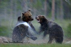 Articmedia - Wildlife Safaris in Finland. Lassi Rautiainen
