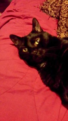 "From Becky Cantrell Smith... ""My beautiful Salem. He was born deaf.""  For the month of October, Cat Faeries is celebrating black cats. We will post pictures of our customer's cuties and donate 1% of our October sales to several black cat rescue groups. You can find out more at www.catfaeries.com/blog/celebrating-black-cats-in-october/"