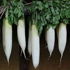 RAPHANUS SATIVUS - Daikon Radish is an enormous white mild Japanese radish. It can be eaten raw or cooked and adds a wonderful crunch to salads. In sushi bars it's shredded into a white cloud and served with sashimi. It's essentail to Kim Chi.